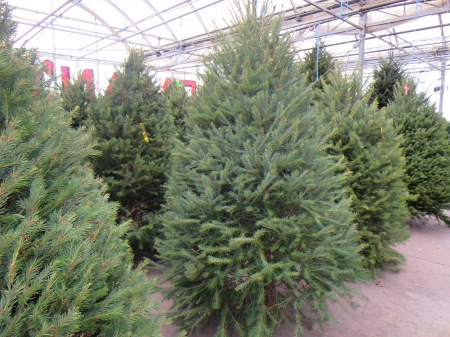 Christmas Trees at Goodman's Farm Market Niagara Falls NY