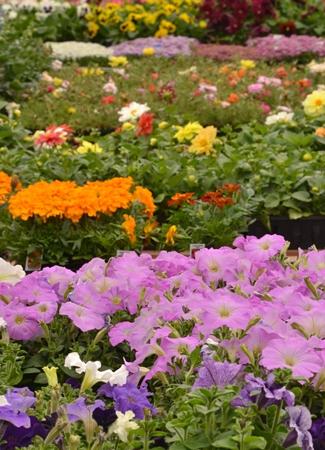 rows of flowering plants at Goodman's in Niagara Falls