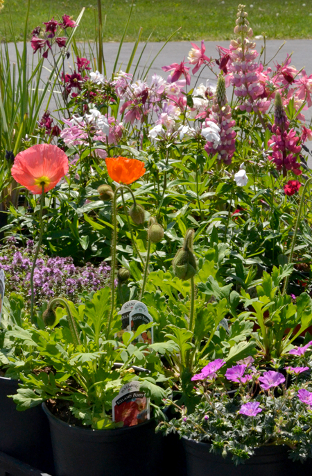Perennials come back every year goodmans farm market perennials come back every year mightylinksfo