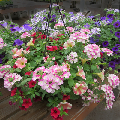 hanging basket of annuals