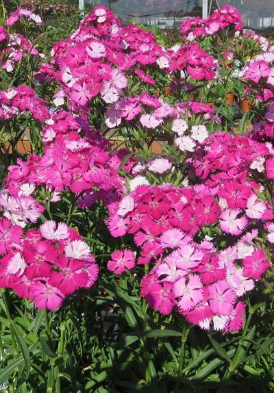Sweet William flower at Goodman's Farm Market