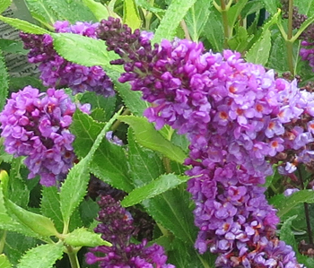 butterfly bush from Goodman's Farm Market in Niagara Falls